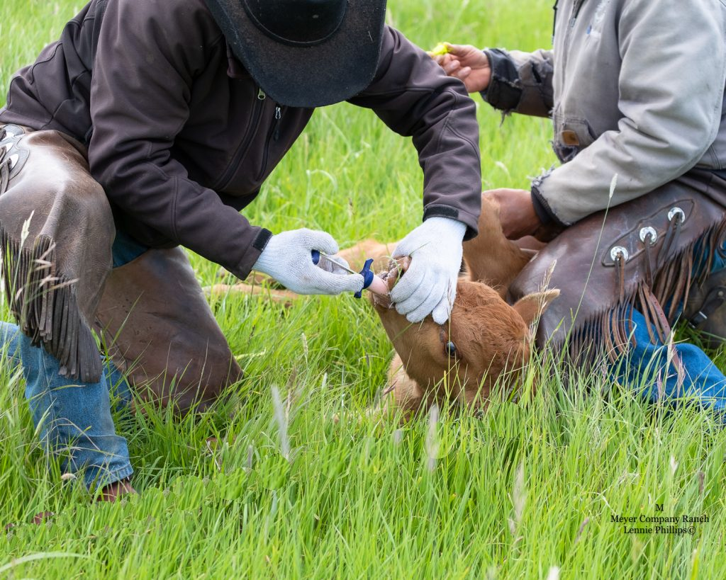 doctoring cattle